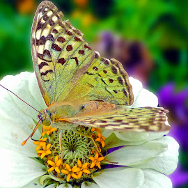 butterfly on flower by LADOCKi Elvira - Animals Insects & Spiders ( garden, flower,  )