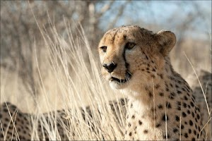 Screenshot of cheetah HD Wallpaper