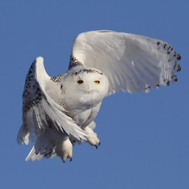 Snowy Owl Flight by Robert Huebner - Animals Birds ( owl, snowy owl )