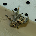 Regal Jumping Spider