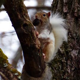 by Buddy Boyd - Animals Other Mammals ( piebald, walnut, white, nut, ozarks,  )