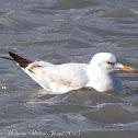 Slender-billed Gull; Gaviota Picofina