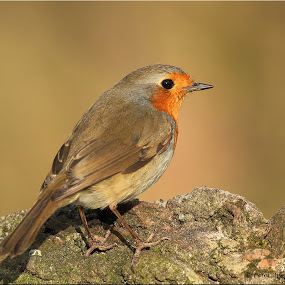 Robin by Carol Lauderdale - Nature Up Close Other Natural Objects ( robin. birds, detailed, wildlife, posing )