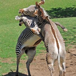 Zebras by Dawn Hoehn Hagler - Animals Horses ( zoo, reid park zoo, horse, tucson, zebra,  )