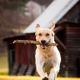 Stick by Troy Wheatley - Animals - Dogs Running ( fetch, retrieve, yellow, run, dog, lab,  )