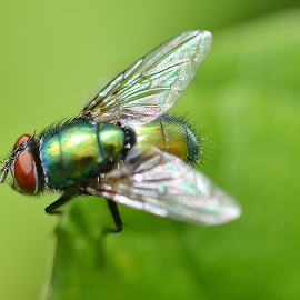 Green bottle Fly by Lorraine Paterson - Animals Insects & Spiders ( shimmer, fly, green, bug, insect )