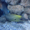 California Moray