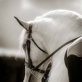 White Cob by Ian Taylor - Animals Horses ( bridle, equine, mane, event, horse, white, cob, grey, tack, gypsy vanner, equestrian )