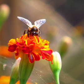 Stealing Nectar! by Surjya Chattopadhyay - Novices Only Macro