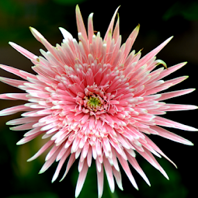 Pink Dahlia 2 by Mark Zouroudis - Nature Up Close Flowers - 2011-2013 ( single, pink, dahlia, flower, large,  )