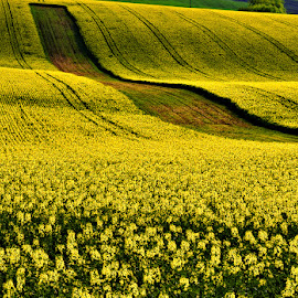 ...yellow rows... by Ivan Rusek - Landscapes Prairies, Meadows & Fields (  )