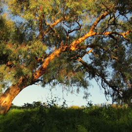 Shine On by Leigh Martin - Nature Up Close Trees & Bushes ( tree gumtree low sun bush,  )