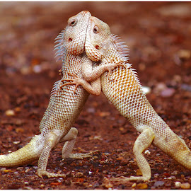 Lovely Lizards  by Chetan Bhandari - Animals Reptiles