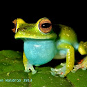Scarlet-webbed Tree Frog