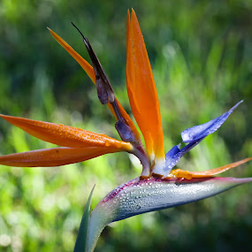 Orange Glory by Jared Lantzman - Flowers Flowers in the Wild ( wild, orange, single, purple, color, green, beautiful, bird of paradise, pretty, flower,  )