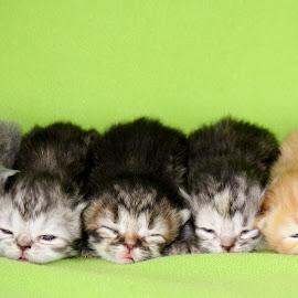 Five Little Kitties by Leah Danker - Animals - Cats Kittens ( five, persian, little, adorable, kittens,  )