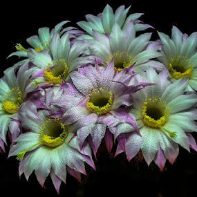 cactus by Enver Karanfil - Flowers Flower Gardens ( flowers, nikon, garden, cactus,  )