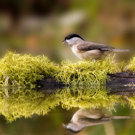 Cincia Bigia Reflections (willow tit) by Mario Poddighe - Animals Birds