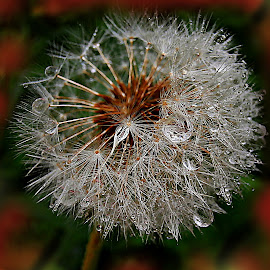 Life Will Start Again.... by Marija Jilek - Nature Up Close Other plants ( life, tomorrow, nature, drops, plants, destroyed structure, dandelion. seeds, rain )