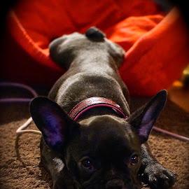 Sleepy  by Krista Nurmi - Animals - Dogs Puppies