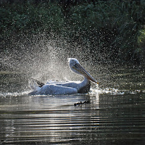 Shower by Luigi Alloni - Animals Birds ( spray backlight pelican bird animal water )