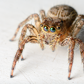 Jumping Spider by Yossy Ryananta - Animals Insects & Spiders ( macro, micro, jumping spider, spider, insect, cute,  )