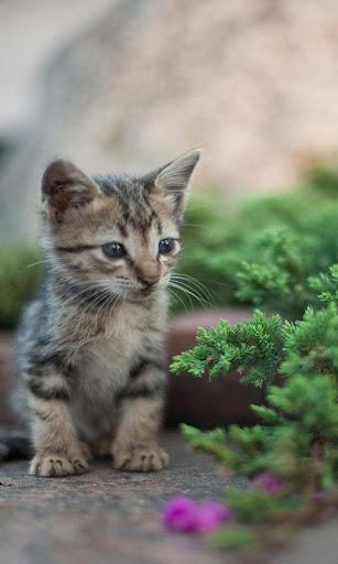KittyWall FREE -LiveWallpaper