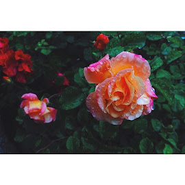 ü by Sezer Ağgez - Nature Up Close Gardens & Produce ( whitagram, rainy, rose, rain, iku, ik, ikuedu, istanbul )