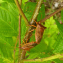 Shield Bugs Mating