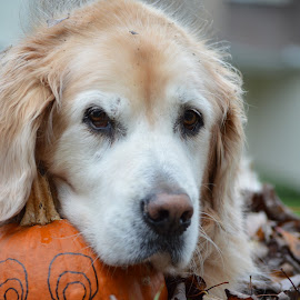 Squirt and the pumpkin by John Clark - Animals - Dogs Portraits ( #goldenretriever )