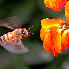 Honeybee by Muhammad Amin Zia - Animals Insects & Spiders