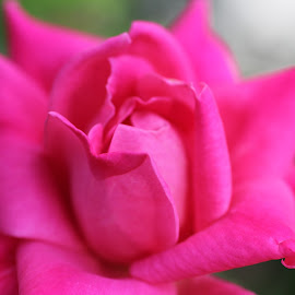Rose by Kevin Erdvig - Novices Only Flowers & Plants