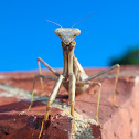 Unknown Mantis
