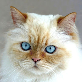 Willow by Connie Mastenbrook - Animals - Cats Portraits ( cat, pet, white, fur, blue eyes, portrait, animal,  )