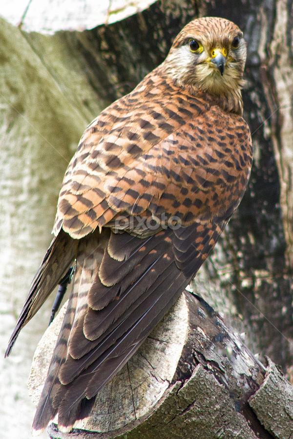 Kestrel by Dez Green - Animals Birds ( kestrel, raptor, birds of prey, birds, wildlife )