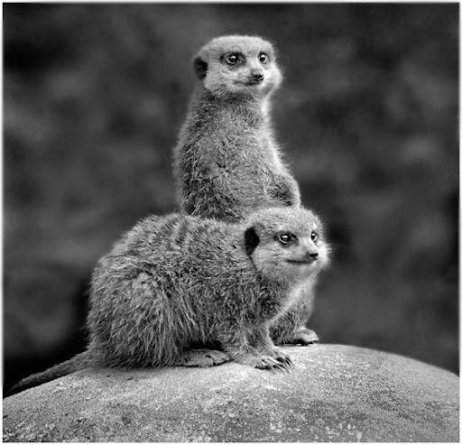 Mongoose. Foto: Horacio Iannella