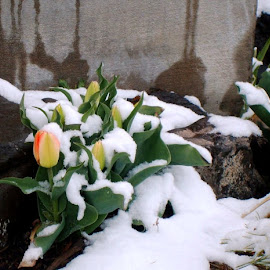 Brave by Marijo Phelps - Landscapes Weather ( icy buds, orange and yellow tulips, sprigtime in colorado, brave flowers, snowy garden )
