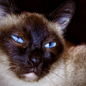 Am I nice? by Anton Donev - Animals - Cats Portraits ( purebred cat, cute, mug, staring, nature, no people, pets, blue eyes, fur, siamese cat, feline, animal, kitten, elegance, beautiful, snout, beauty in nature, domestic animals, shorthair cat, close-up, mammal, big-eared, fluffy, food, pussycat, softness, domestic cat, #GARYFONGPETS, #SHOWUSYOURPETS,  )