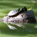 Red-eared slider x Yellow-bellied slider