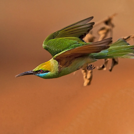 BEE-EATER IN FLIGHT.. . by Mohan Munivenkatappa - Animals Birds
