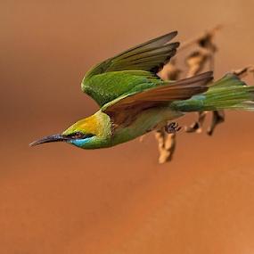 BEE-EATER IN FLIGHT.. . by Mohan Munivenkatappa - Animals Birds