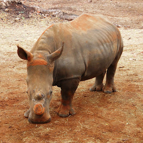 Rhino horn cut off to protect him by Joss van Wyk - Animals Other ( rietfontein, pretoria, no horn, africa, rhino )