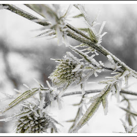 Dream Ice by Marius Butiuc - Nature Up Close Other plants