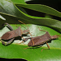Leaf-footed bugs (pair)