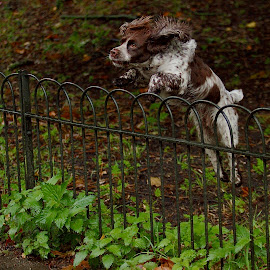 by James Blyth Currie - Animals - Dogs Playing ( kensington gardens, london, hyde park )
