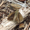Clouded Skipper Butterfly
