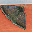 Finite achaea Moth