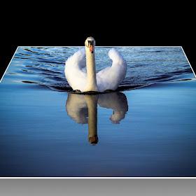 Swan Reflect..jpg