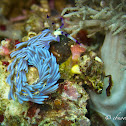 Blue Dragon Nudibranch, Serpent Pteraeolida