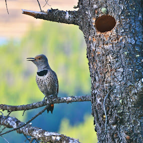 Gawker Bird by  J B  - Animals Birds ( bird, northern flicker, banff national park, woodpecker )